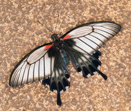 Tropischer swallowtail Schmetterling Lizenzfreies Stockfoto
