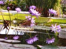 Tropischer Teich mit Lotos und riesigen Wasserlilien Lizenzfreie Stockfotos