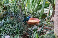 Tropischer Vogel, der Vogelfutter im Botanikgarten isst lizenzfreies stockbild
