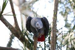 Tropischer Vogel des Papageien des afrikanischen Graus, der neugierig schaut Stockfotos