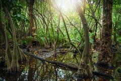 Tropischer Wald mit Mangrovenbäumen und -Blendenfleck Stockfotos