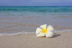Tropischer weißer Frangipani auf Strand Stockfoto