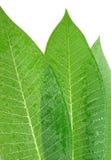 Tropisches Blatt Stockfoto