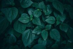 tropisches Blatt in der dunkelgrünen Beschaffenheit stockbild