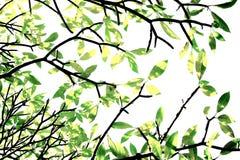 Tropisches Blatt gegen Sonnenlichtzusammenfassungsmuster auf weißem backgro Stockbilder