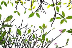Tropisches Blattzusammenfassungsmuster auf weißem Hintergrund, Natur schaffen Lizenzfreie Stockfotos