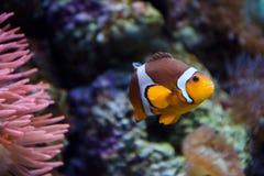 Tropisches clownfish schwimmt nahe Korallenriff Stockbild
