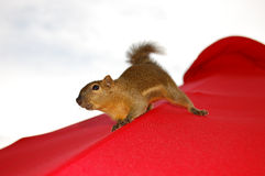 Tropisches Eichhörnchen Lizenzfreie Stockbilder
