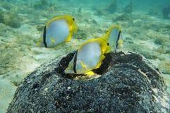 Tropisches Fischnest in einem Seeschwamm Stockbild
