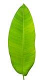 Tropisches grünes Blatt Lizenzfreies Stockbild