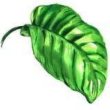 Tropisches grünes Blatt lokalisiert, Aquarellillustration auf Weiß vektor abbildung