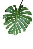 Tropisches grünes Blatt Monstera-deliciosa, das Spalteblatt philodend stockbilder