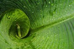 Tropisches grünes und nasses Bananenblatt lizenzfreies stockfoto