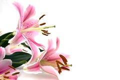 Tropisches rosafarbenes Lilly Stockbild