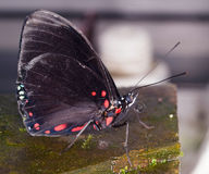 Tropisches Rot spoted Schmetterling Lizenzfreies Stockfoto