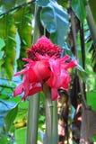 Tropisches rotes Fackelingwerblume Etlingera-elatior, Umauma-Regenwaldpark, große Insel, Hawaii lizenzfreie stockbilder