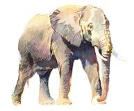 Tropisches Tier des realistischen Elefanten des Aquarells lokalisiert auf einem weißen Hintergrund lizenzfreie abbildung