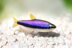 Tropisk akvariefisk för blåkejsareTetraInpaichthys kerri arkivbild