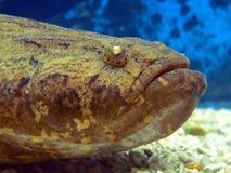 tropisk asia stor fisk Arkivbilder