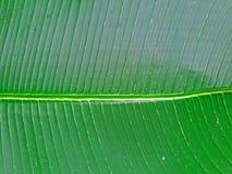 Tropisk bananpalmbladbakgrund Exotisk bladtextur Stort skinande gömma i handflatan lövverk arkivbilder