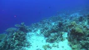 Tropisk banerfisk på vibrerande Coral Reef lager videofilmer