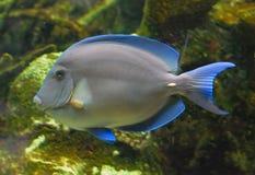 tropisk blå fisk Arkivfoto