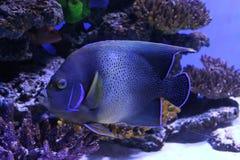 tropisk blå fisk arkivfoton