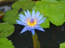 tropisk blomma Arkivbilder