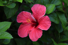 tropisk blomma Royaltyfri Bild