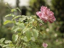 tropisk blomma Royaltyfria Foton