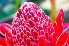 Tropisk blomma av den röda facklaingefäran Royaltyfria Bilder