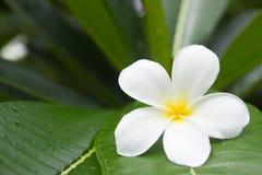 Tropisk blomma för vit frangipani, plumeriablomma som blommar på tr Royaltyfria Bilder