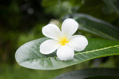 Tropisk blomma för vit frangipani, plumeriablomma som blommar på tr Arkivbild