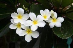 Tropisk blomma för vit frangipani, plumeriablomma som blommar på tr Arkivfoton