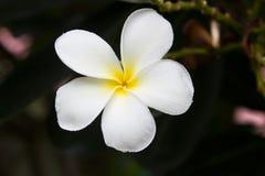 Tropisk blomma för vit frangipani, plumeriablomma som blommar på tr Fotografering för Bildbyråer