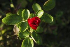 Tropisk blomma i trädgårds- foto Den röda rosen växer på blomsterrabatt Sommarträdgård i sol Royaltyfria Bilder