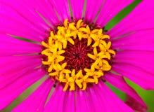 Tropisk blomma med stamens och kronblad För blommamakro för varma rosa färger foto Arkivfoton