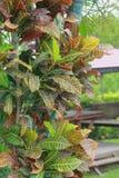 Tropisk blommaCodiaeum som nyanseras i trädgården arkivbilder