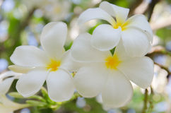 Tropisk blommafrangipani Fotografering för Bildbyråer