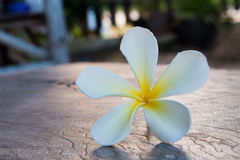 Tropisk blommafrangipani på trä Arkivfoton