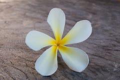 Tropisk blommafrangipani på trä Royaltyfria Foton