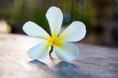 Tropisk blommafrangipani på trä Royaltyfri Foto