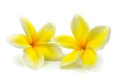 Tropisk blommafrangipani (plumeria) som isoleras på den vita backgroen Fotografering för Bildbyråer