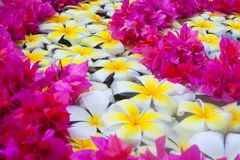 tropisk blommafrangipanibrunnsort Royaltyfri Fotografi