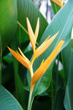 tropisk blommaheliconia Arkivfoton