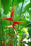 tropisk blommaheliconia Arkivfoto