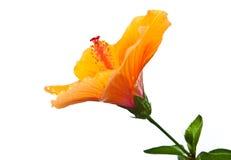 tropisk blommahibiskus Royaltyfri Bild