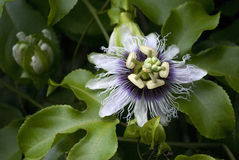 tropisk blommapassionfruit Arkivfoton