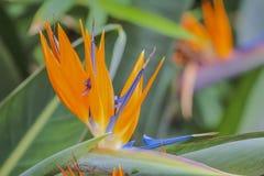 Tropisk blommastrelitzia, fågel av paradiset Royaltyfri Bild