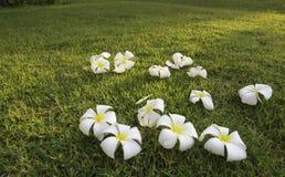 Tropisk brunnsortblomma för Plumeria i trädgårds- by Royaltyfri Foto